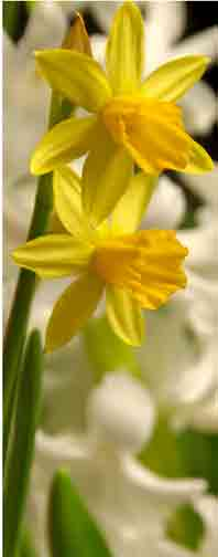 Easter lilies